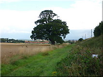 NT5678 : East Lothian Landscape : Mature Oak Tree Beside the ECML, near Markle by Richard West