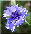 NJ6717 : Cornflower (Centaurea cyanus) by Anne Burgess