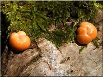 NS3878 : A slime mould - Lycogala terrestre by Lairich Rig