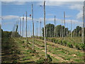 TQ8028 : Harvested Hop Field at Hoad's Farm by Oast House Archive