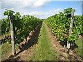 TQ8029 : Hoad's Farm vineyard by Oast House Archive