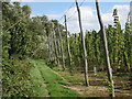 TQ8029 : Edge of Hop Garden at Hoad's Farm by Oast House Archive