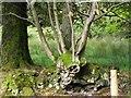 G9983 : Tree,  Tawnaghlaghan by Kenneth  Allen