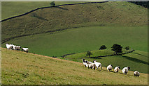 NT4448 : Sheep on Carsinker Law by Walter Baxter