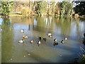 TQ7645 : Ducks at Wanshurst Green Farm by Oast House Archive