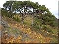 NH3140 : Caledonian Pines by sylvia duckworth