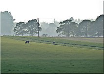 NZ5906 : Cows Grazing, Bank Foot by Paul Buckingham