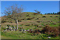 SH8431 : Hillside and tree by Coed Wenallt by Nigel Brown
