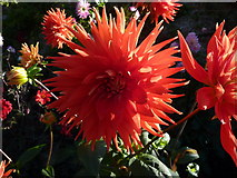 TQ1352 : One of the dahlias in the rose garden, Polesden Lacey by pam fray