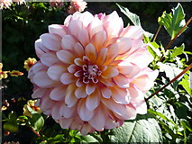 TQ1352 : One of the dahlias in the rose garden at Polesden Lacey by pam fray