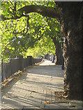 TQ2977 : London Plane trees (Platanus × hispanica) on the Thames Embankment by Rod Allday