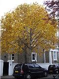 TQ2677 : Autumn colours in Fawcett Street, Chelsea by PAUL FARMER