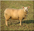 TF6807 : Sheep in stubble field, Shouldham by Evelyn Simak
