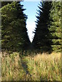 NY6475 : Firebreak in the plantation west of Hart Horn by Mike Quinn