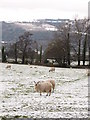 SO2613 : Sheep near Govilon by Gareth James
