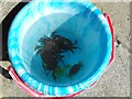 SN6195 : A bucket of crabs by Penny Mayes
