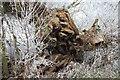 SP1556 : Tree stump by Billesley Brake by David P Howard
