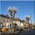 SP3079 : Pollarded trees, Glendower Avenue by E Gammie