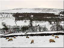 SD9771 : Sheep in the snow near Kettlewell by Stephen Craven