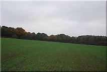 TQ5334 : A field of Winter wheat by N Chadwick