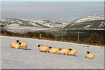 NT5247 : Sheep at Standing Side, Lauder by Walter Baxter