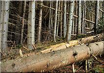 J3630 : Trees and fallen trees, Donard forest, Newcastle by Albert Bridge