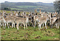 ST7476 : Fallow Deer, Dyrham Park by Rick Crowley