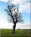 TM0886 : Solitary tree in field beside Winfarthing Road by Evelyn Simak