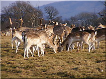 SJ5509 : Attingham Deer by Gordon Griffiths