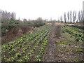 TF3804 : Nursery area, Guyhirn Gull by Hugh Venables