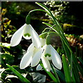 SO6424 : Galanthus nivalis, snowdrop in sunshine by Jonathan Billinger