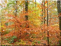 SU2067 : Savernake - Forest by Chris Talbot