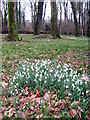 SX0864 : Snowdrops in The Belts at Lanhydrock by Rod Allday