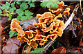 J3268 : Winter fungus, Minnowburn, Belfast by Albert Bridge