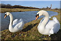 SK4964 : Mute Swans - Pleasley Country Park by Ashley Dace