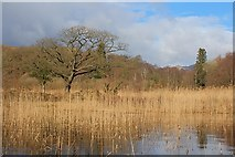 SD2890 : Reed Bed, Coniston Water by Mick Garratt
