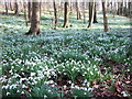 TF9336 : Thousands of snowdrops at Walsingham by Richard Humphrey