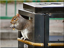 SJ3682 : Foraging Squirrel, Eastham Country Park by David Dixon