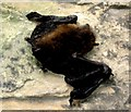 NZ2742 : Durham Cathedral - pipistrelle bat (dead) by Peter Neal
