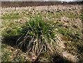 SJ8854 : Grass tussock by Jonathan Kington