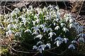 NJ1562 : Snowdrops (Galanthus nivalis) by Anne Burgess