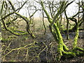 SD4774 : Mossy trunks at Leighton Moss by M J Richardson