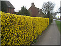 SU6453 : Yellow forsythia hedge by Given Up