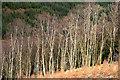 NY3881 : The edge of a birch wood at Tarrasfoot Hill by Walter Baxter