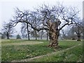 TQ0081 : Old pollards in Langley Park by Stefan Czapski