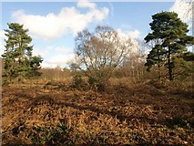 TQ2053 : Headley Heath by Derek Harper