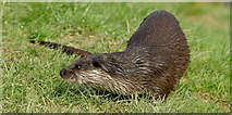 TQ3643 : Otter at the British Wildlife Centre, Newchapel, Surrey by Peter Trimming