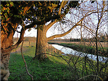 TG2105 : Trees alongside the River Yare at Harford, looking east by Adrian S Pye