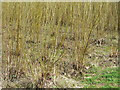 SK6448 : Coppiced willow by Alan Murray-Rust