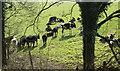 ST6048 : 2011 : Cattle near Mead Farm by Maurice Pullin